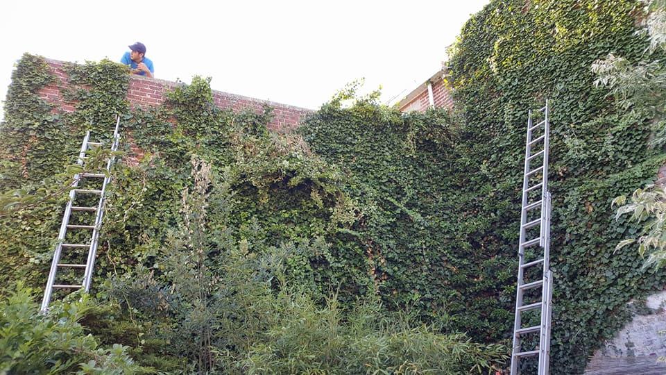 Entretien de plante grimpante agris parc et jardins for Entretien jardin bruxelles